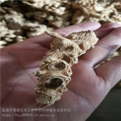 广安武胜野三七栽培方法 竹节参供应求购 竹节参怎么种植