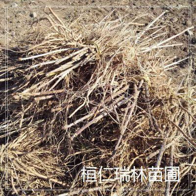 刺包头种苗 出售红刺老包苗