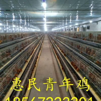 河南青年鸡厂家 河南青年鸡养殖 河南青年鸡批发