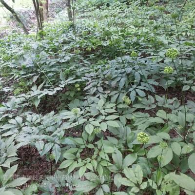 黔东麻江野三七种子种苗 竹节参供应求购 竹节参种植技术