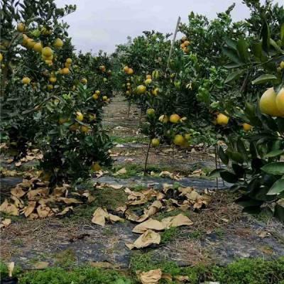 美国红肉葡萄柚苗多少钱