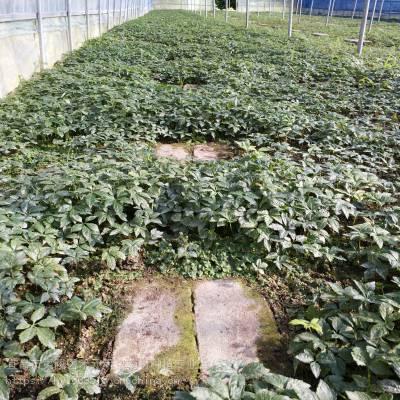 文山富宁野三七栽培技术 竹节参种子种苗哪里有 竹节参经济效益
