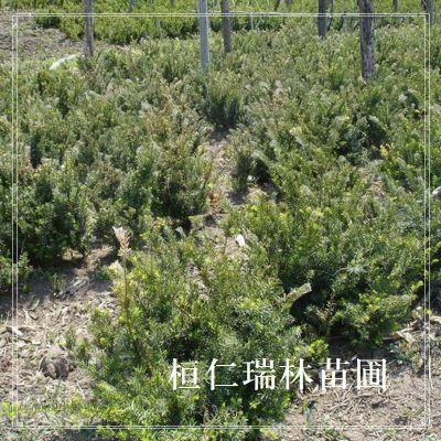 东北红豆杉苗,东北红豆杉树苗