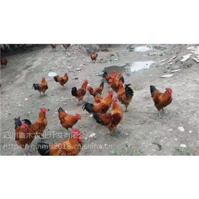 四川雅安养殖高脚快大瑶鸡苗为何这么受欢迎,优质鸡苗,可空运发货,价格从优