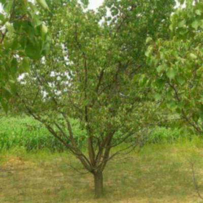 李子树价格3公分李子树价格4公分李子树价格5公分李子树价格