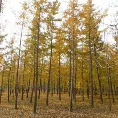景观银杏树灯厂家-红冠苗木(在线咨询)-银杏树厂家