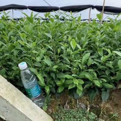 远安县黄金芽茶苗、-哪里比较好大叶种茶苗