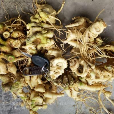 云南文山马关竹节参种植野三七种植基地怎么繁育繁殖