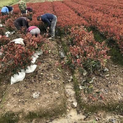 大杯红叶石楠价格 工程苗批发 3分支1.4元