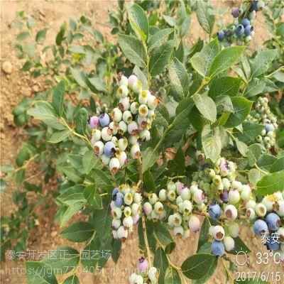 正一园艺场价格:蓝莓苗批发基地 哪有蓝莓苗
