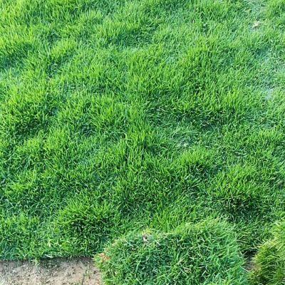 兰引3号草皮 湖北天门跑马场棒球场用的草皮种类出售价格 多少钱