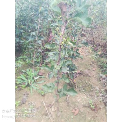 山楂树苗批发、山楂苗多少钱一棵 1.3米高1公分粗高产