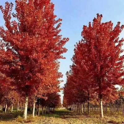 10公分红冠红枫的价格 一级红冠红枫多少钱 霖松苗木