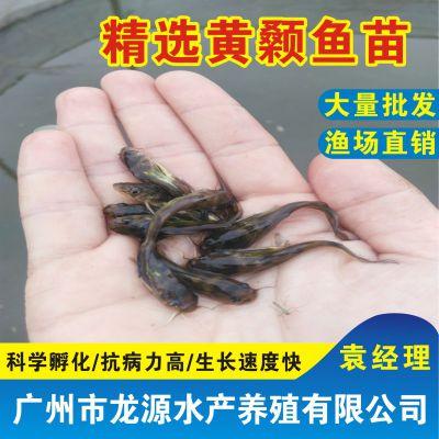 我想买黄颡鱼苗黄颡鱼苗和黄骨鱼苗是一样的品种吗?