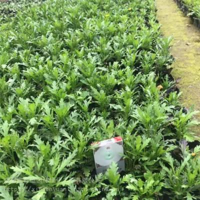 贵州龙里大量出售木春菊工程苗 木春菊10杯的价格是0.4元哦百万基地哦