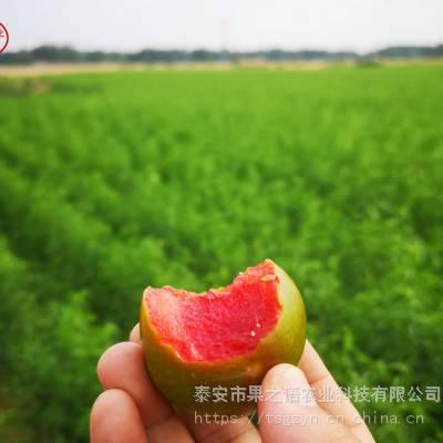 茵红李苗批发、茵红李苗一亩栽多少棵