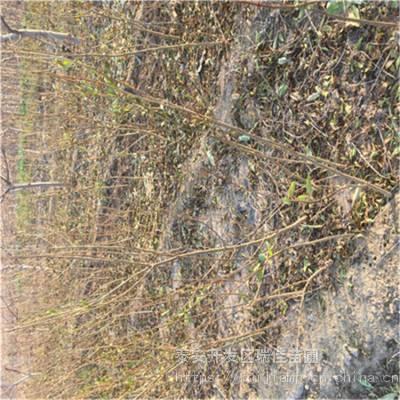 地径两公分海棠花石榴苗价格报价