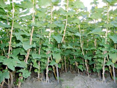 葫芦岛黑加仑苗厂家-销量好的黑加仑苗出售