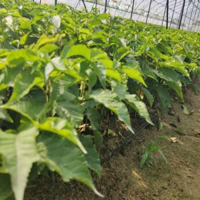 吉塞拉12号组培苗-山东山清水秀生态农业(在线咨询)-吉塞拉