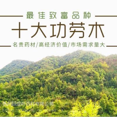 贵州阔叶十大功劳木种苗 株高20公分以上 植株完整 成活