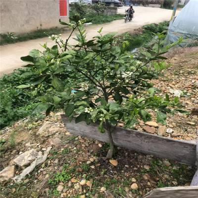 浙江三公分带土葡萄柚苗基地供应价