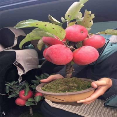 清地处理苹果苗货源地 2公分鲁丽苹果苗哪家好
