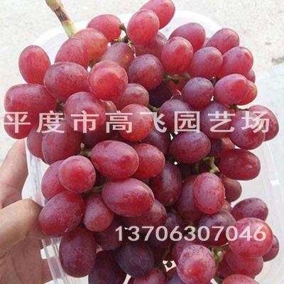 冰葡萄苗 晚熟 葡萄苗品种 厂家直销