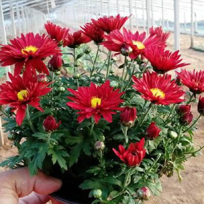 国庆节绿化花卉有哪些,十一花卉品种介绍