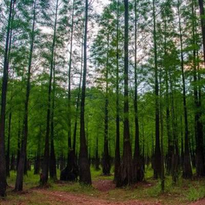 15公分水杉价格_15公分水杉苗价格