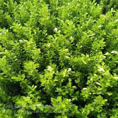 山東瓜子黃楊杯苗價格瓜子黃楊基地批發采購園林綠化常用苗木瓜子黃楊