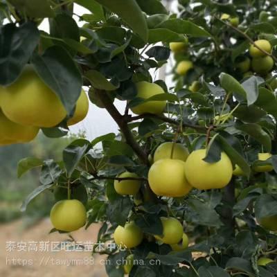 水葫芦梨多少钱一棵梨红酥蜜梨商家