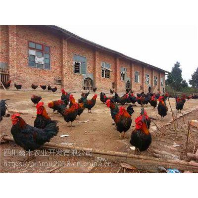 四川攀枝花养殖土鸡苗孵化厂联系方式,优质鸡苗,可空运发货,价格从优