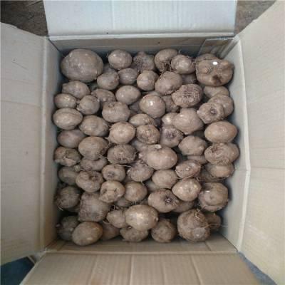 鹤庆魔芋种子 珠芽魔芋和花魔芋区别 克拉玛依魔芋种苗