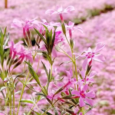 公园花卉种苗哪里卖,公园绿化植物批发