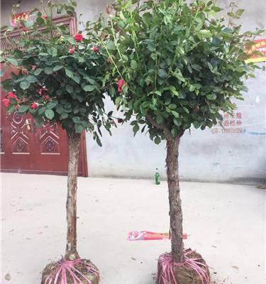 天润月季(图)-求购多年生月季树-月季树