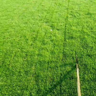 兰引3号草 眉山别墅庭院绿化用的中华结缕草批发价格 哪里有卖的