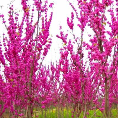 周至苗木批发-丛生紫荆-别墅区种植-苗木技术指导