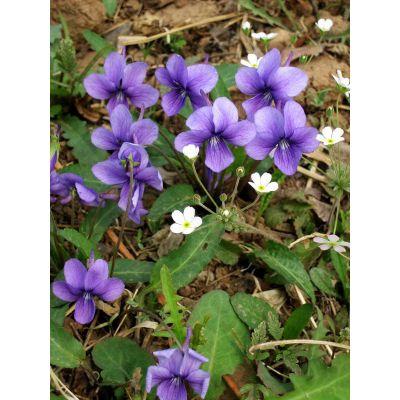 紫花地丁-芳青花卉苗(查看)