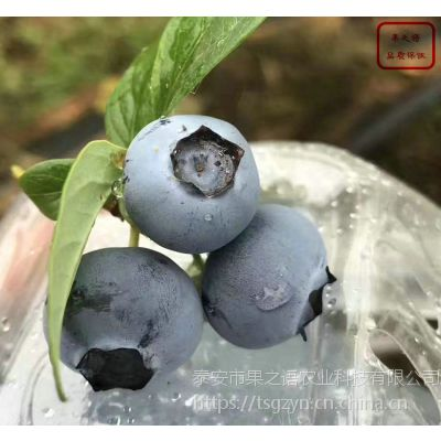 蓝莓树苗、蓝莓树苗价格