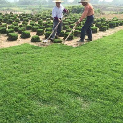 兰引3号草 贵州清镇校园操场绿化用的草地出售价格 什么价格