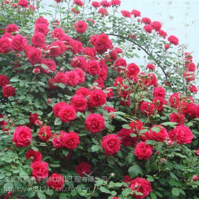 全国大量批发蔷薇,及其他草坪苗木等品种齐全