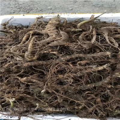 甘南合作野三七如何种植 竹节参农村致富赚钱 竹节参种植技术