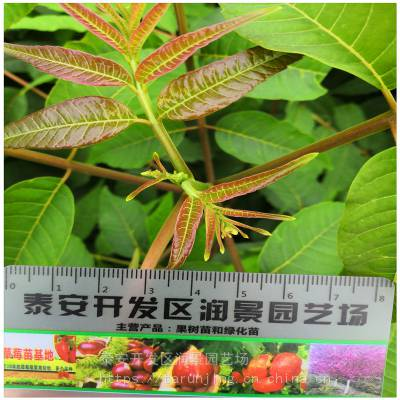 重庆香椿树苗 食用香椿芽苗 一年生香椿树苗 润景香椿苗木批发