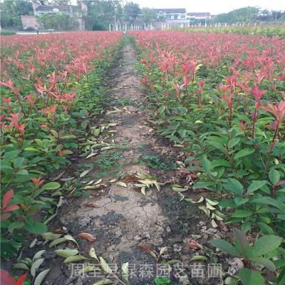 红叶石楠基地 供应西安、渭南、安康、宝鸡、铜川、商洛绿化苗木