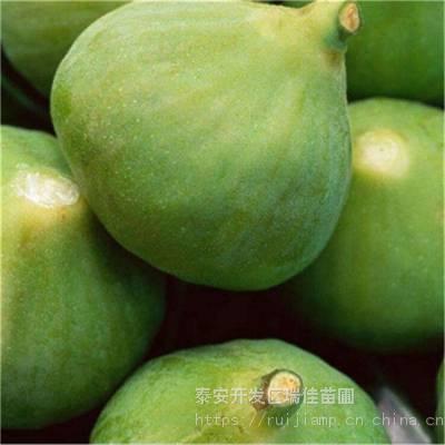 地径两公分蓬莱柿无花果苗哪里便宜