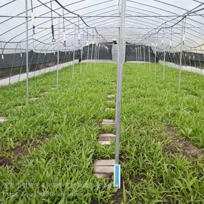 金华武义野三七种植方法 竹节参供应求购 竹节参种子哪里有