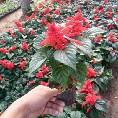 地被草花一串红供应 青州草花一串红批发 开花好的一串红