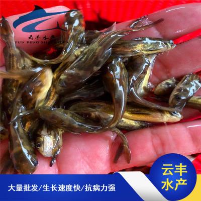 广东现货热卖黄骨鱼苗 黄角丁鱼苗规格 黄颡鱼苗