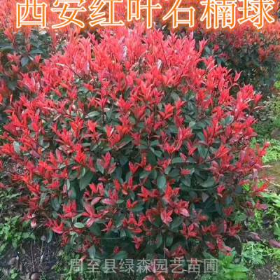 安康红叶石楠-红叶石楠绿篱-红叶石楠球叶子枯萎-独杆红叶石楠球价格