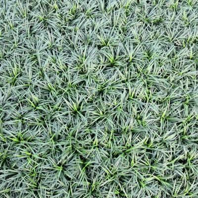 供应湖南玉龙草 别墅庭院绿化用的矮小沿阶草 价格优惠